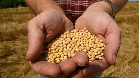 Farmer holds seeds of Monsanto's Roundup Ready soybeans