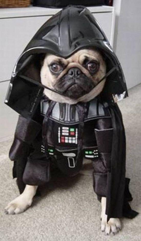 Pug dressed like Darth Vadar