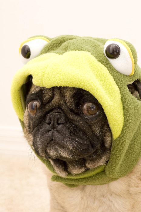 Pug dressed like a frog