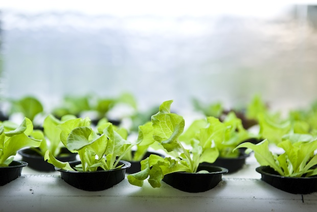 PodPonics lettuce growing in individual containers