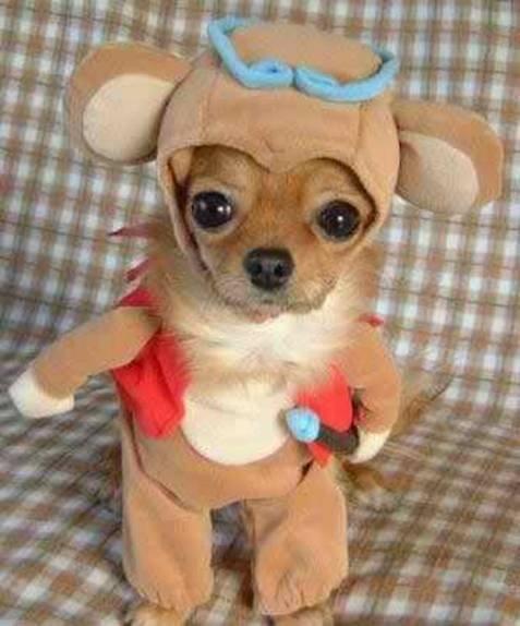 Chihauhua dressed like a teddy bear