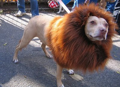 Pitbull dressed like a lion