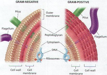 Cell structure of Gram negative (left) and Gram-positive bacteria (right)