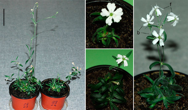 Regenerated Silene stenophylla were potted by Russian scientist Svetlana Yashina and two years later bloomed flowers