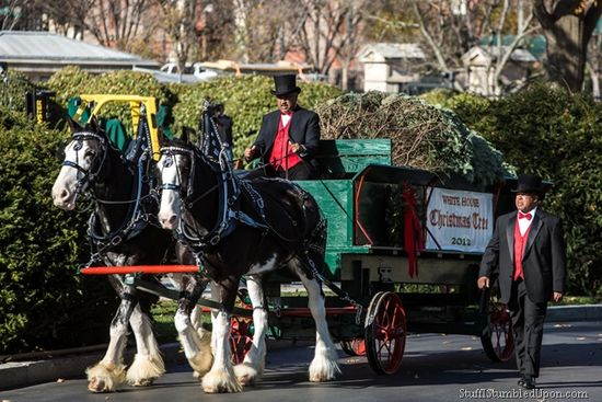 The White House Christmas Tree 2012 arrives at the White House by horse drawn carriage