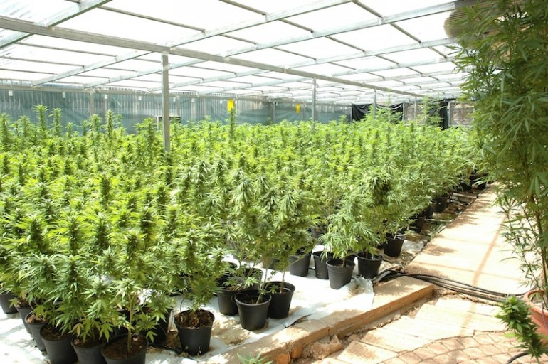 The Tikun Olam facility includes a 11,000 sq meter growing field, several greenhouses, a cloning facility and a harvesting facility